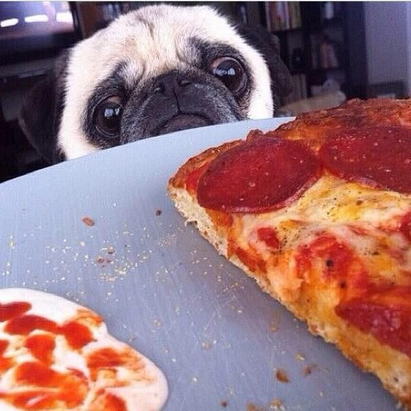 Pizza Pugs are my heart and soul