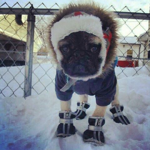 Funny Pugs Star Pug Life Adorable Animals Winter Doggies Pets Puppies Little Dogs