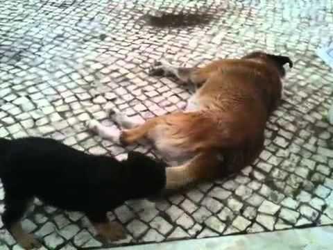 Cadela pequena vs c£o grande