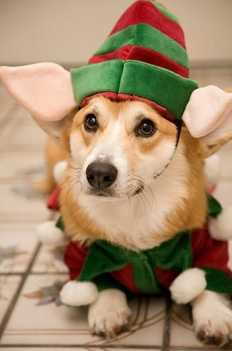 elf corgi christmas pembroke welsh corgis puppy Holiday Dogs