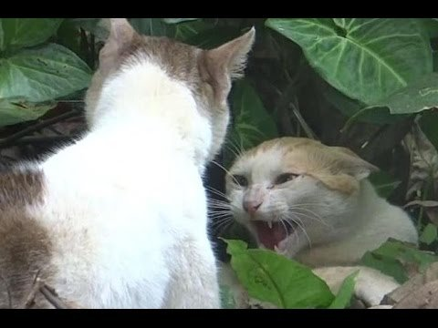 Close up video of angry cats fighting Very loud cat fight meowing sounds