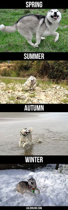 Husky During Different Seasons funny zonline Cute Funny Animals Funny Animal