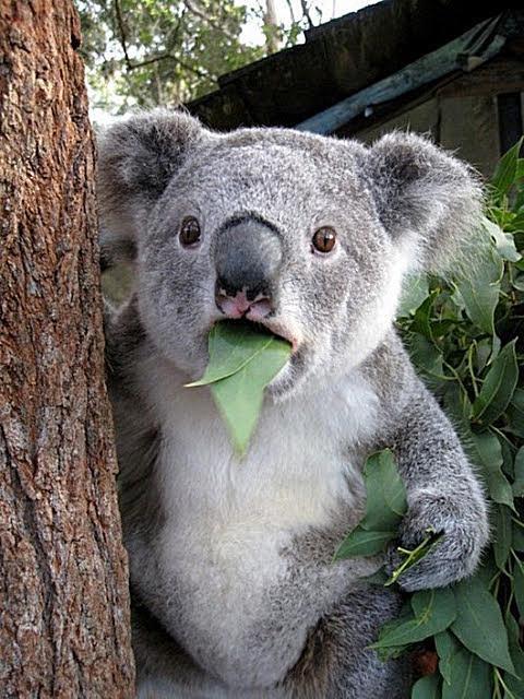 koala funny face imgur 58b8ecdf3df78c353c2fe2e7