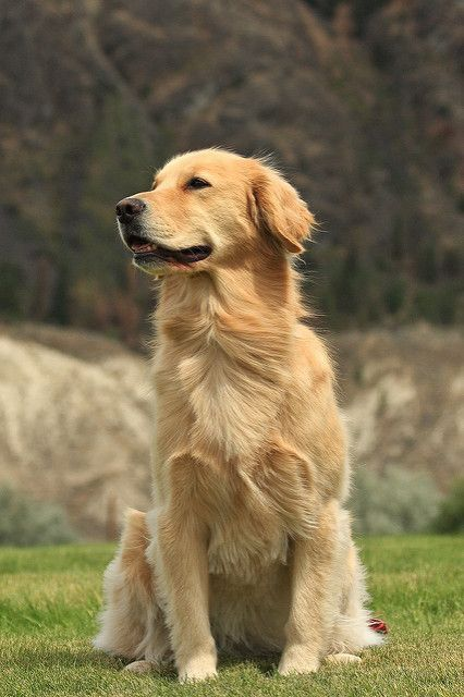 Golden Retriever Golden Retriever Love Funny Golden Retrievers Funny Dog s