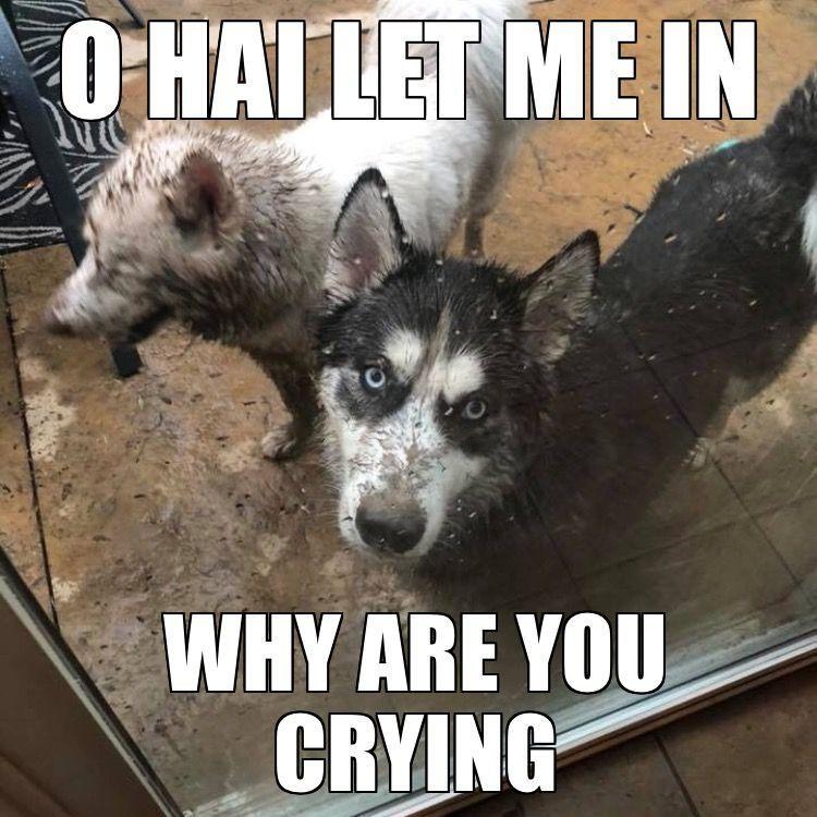 siberianhusky Malamute Husky Husky Puppy Husky Meme Funny Husky Rottweiler Funny