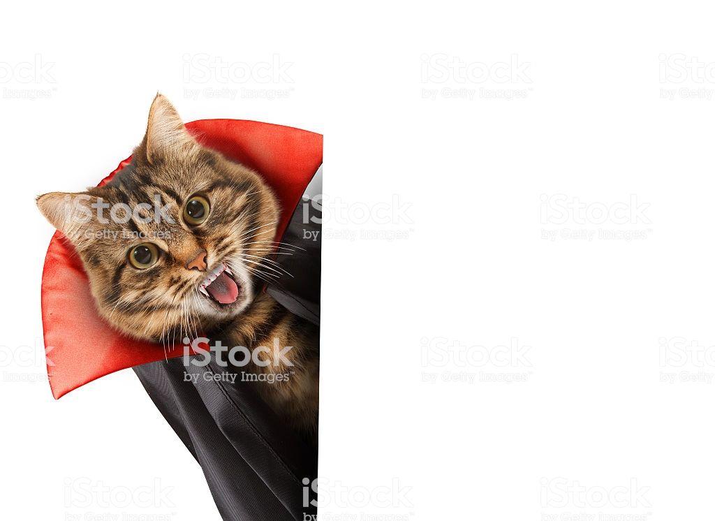Funny cat celebrates Halloween royalty free stock photo