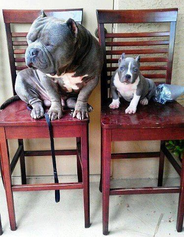 they are so cute a big bully and a little bully