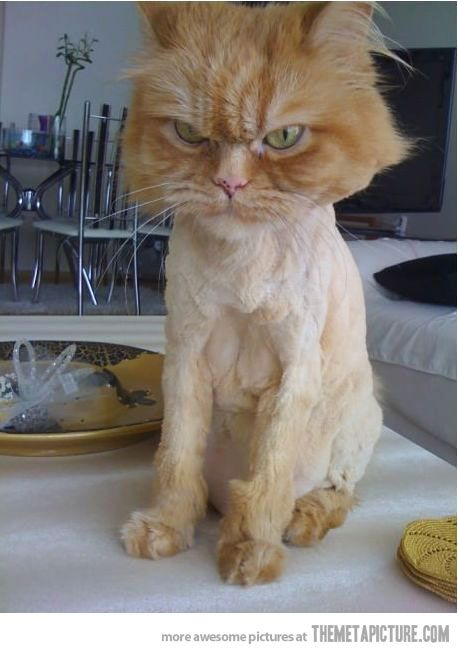 funny angry cat shaved