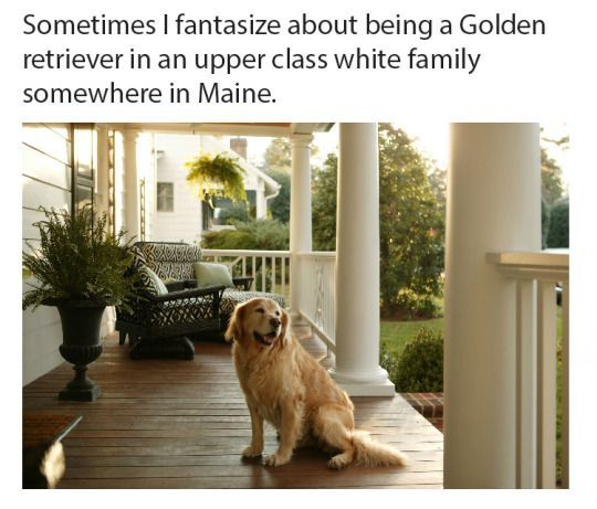 Sometimes I fantasize about being a Golden retriever in an upper class white family somewhere in Maine Saddest thing I ve ever heard Pinterest