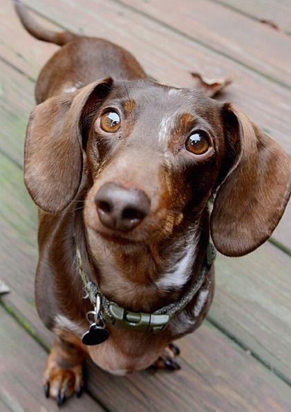 Dashund looking up waiting to go on walk rescuepawspage I Love My Wiener Pinterest