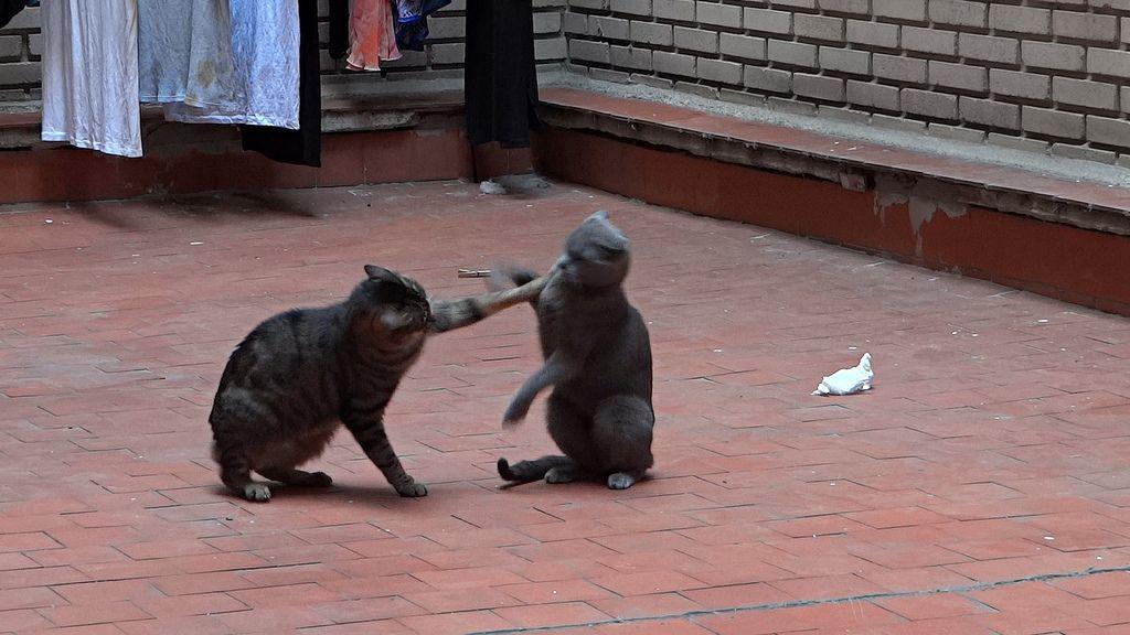 Funny Cat Fight Divertida Pelea de gatos