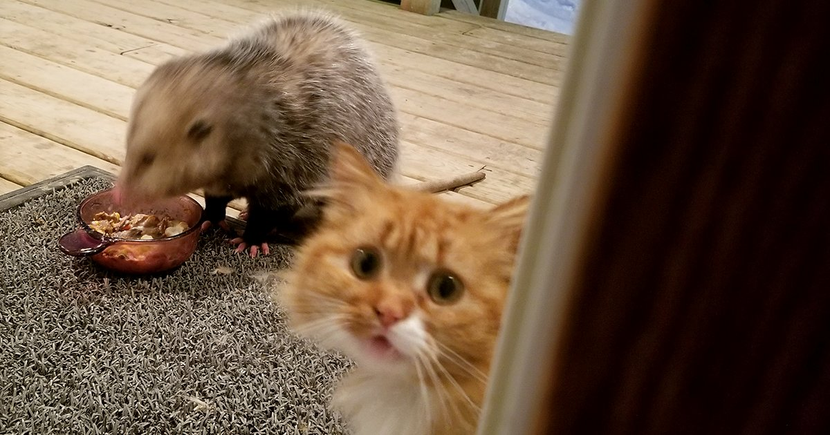 This Cat s Reaction To Possum Stealing Her Food Gets Better And Better With Every Pic