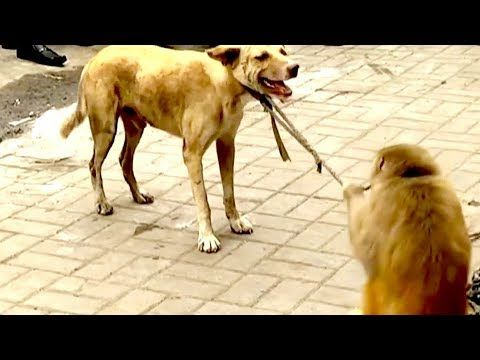 Monkey & Dog Drama Real Funny Video edy Video From My Phone