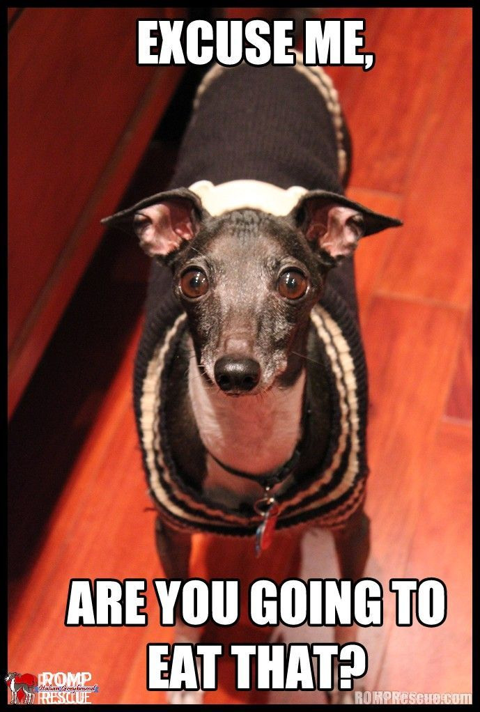 Italian Greyhound meme meme funny silly saying Memes Pinterest