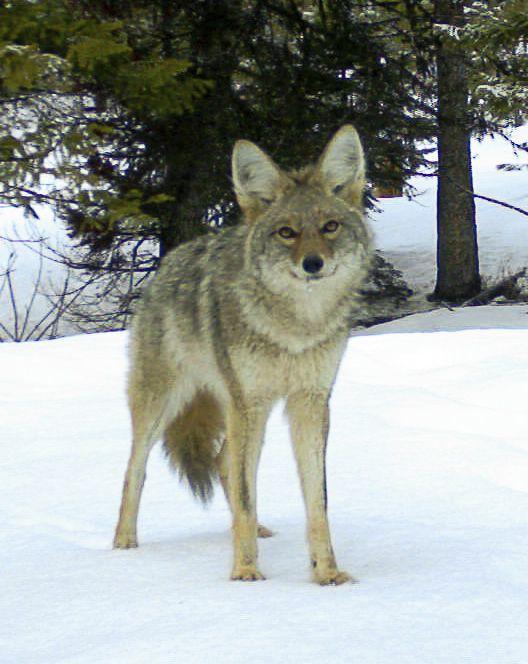 Wolf Quiz