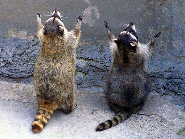 Funny Animals Cute Animals Raccoons Pray Rocky Raccoon Psalm 150