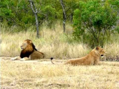 Hilarious Lioness attempting to lure an uninterested male Lion to mate