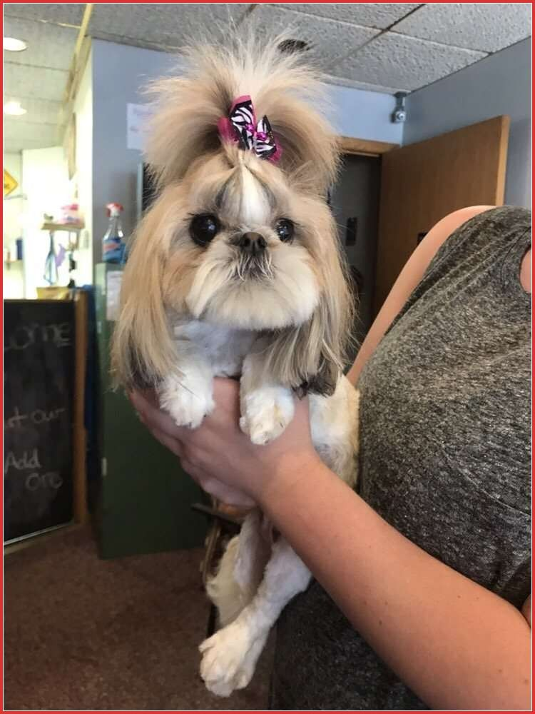 Maltipoo Haircuts Funny Dog Haircuts the Easy Way Funny Memes – Funny Memes to Cure