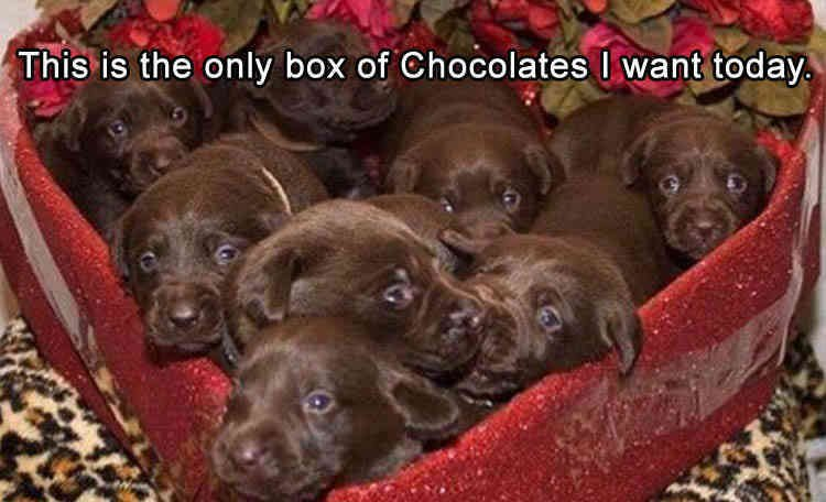Havanese dog Puppy Valentine s Day Pet Dog–cat relationship Meme