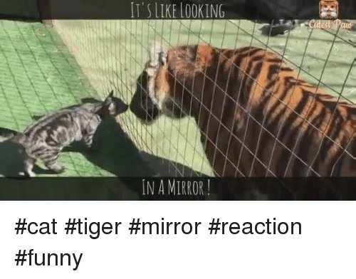 Memes Mirror and Tiger SLIKE LOOKING IN A MIRROR cat tiger