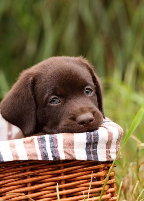 Garden Picture Chocolate Labs Chocolate Lab Puppies Chocolate Labradors Chocolate Labrador Retriever