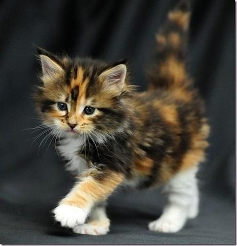 Cute Kittens wallpaper called cute calico kitties