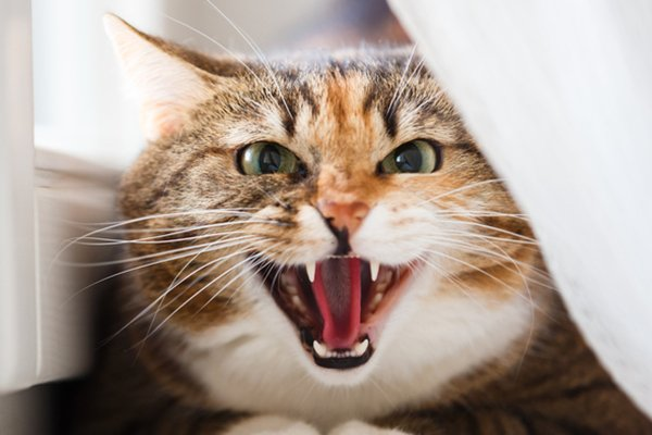Cats Be e Aggressive Because They re in Pain
