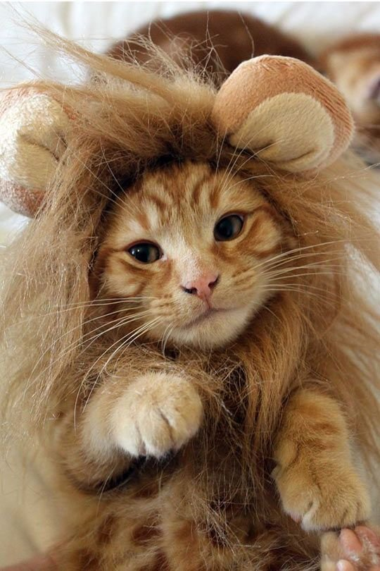 This Kitty dressed up as a lion is totally cute Makes cool for dress up or Halloween on ur FAVE tabby