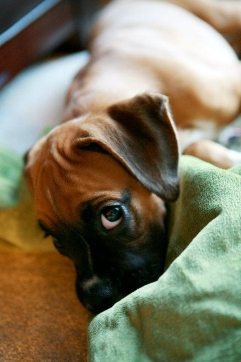 boxer puppy stare H U M A N anACOUSTICS