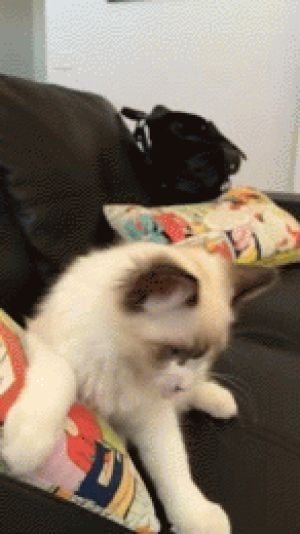 GIF so funny cat kitten best animated GIFs adorable funny cat