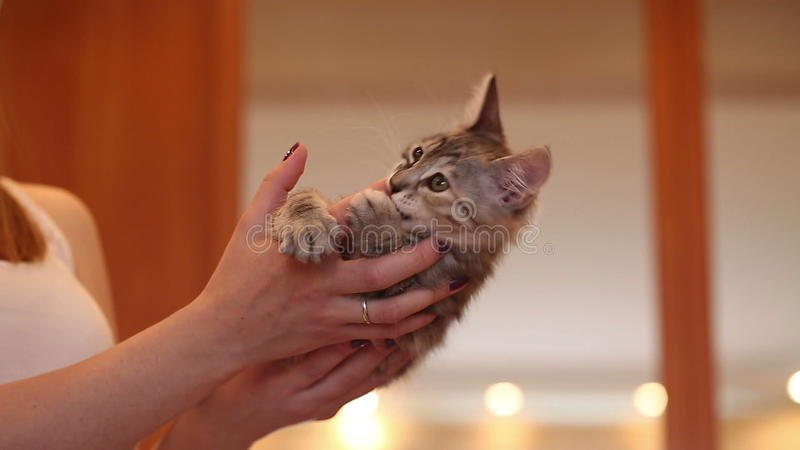 Cute Little Kitten Biting Finger Stock Video Video of charm beautiful