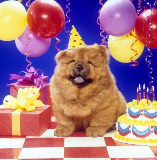 Birthday Chow Chow Chow Chow Dogs Best Dogs Pugs Animal Dogs