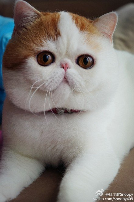 Get the Wonderful Funny Exotic Shorthair Cat Memes