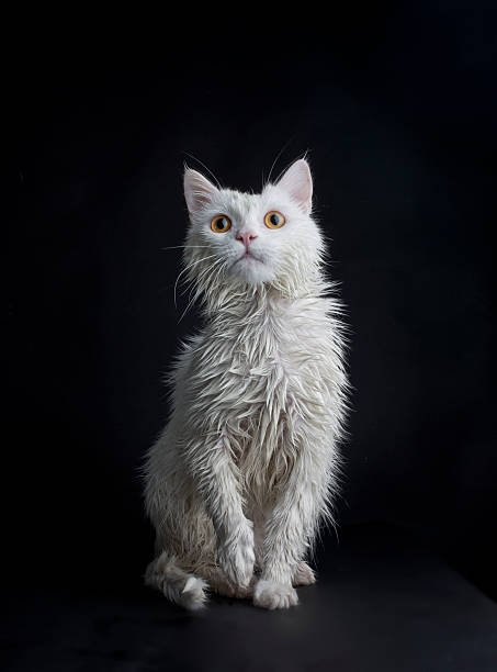 Wet Cat Against Black Background Wall Art