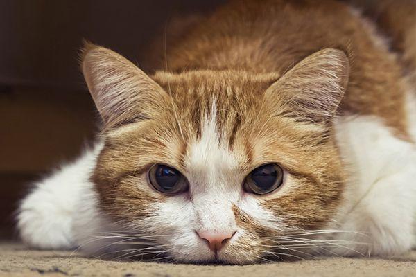 orange and white cat on the floor sick