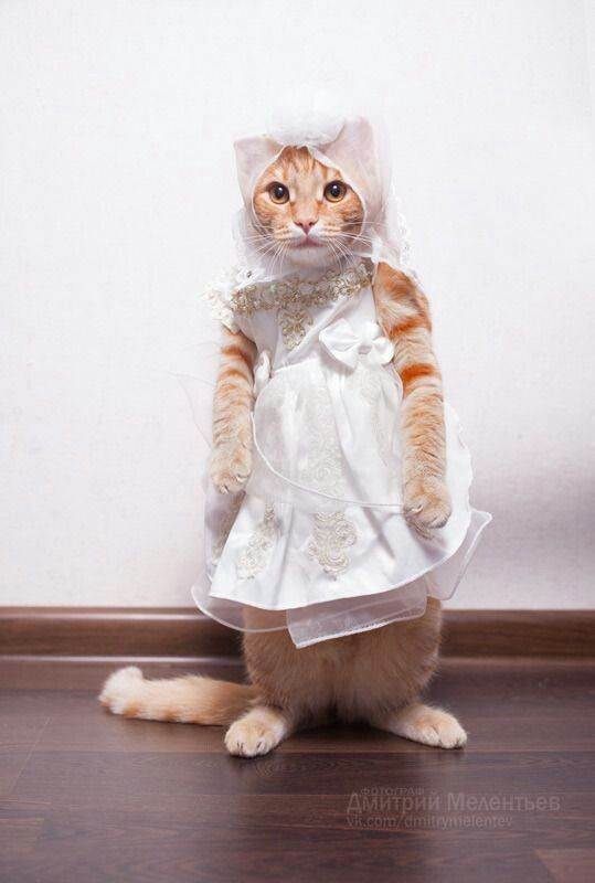 Omg Adorable cat My cat would never be that cool with being dressed up To those of you menting it s animal cruelty to play dress up rea…
