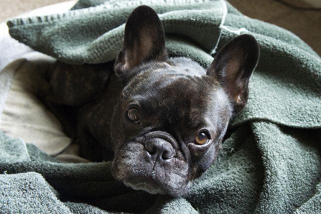 French bulldog French BulldogAnimal KingdomIt s RainingBoston TerriersBathFrenchFunnyBulldogsPuppies