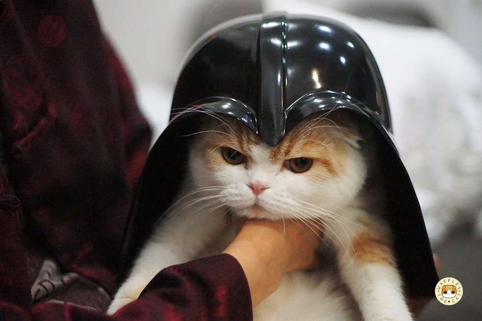 cat LOL funny cute star wars Darth Vader Halloween cats scottish fold happy halloween waffles the
