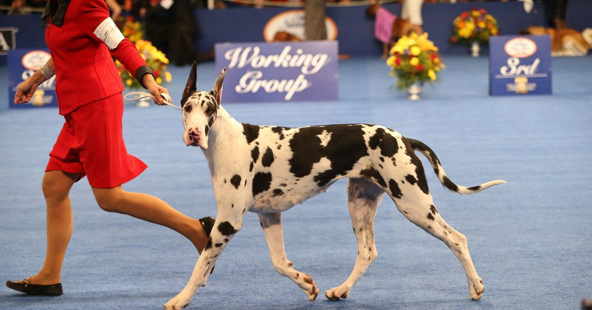 The National Dog Show is Thanksgiving s best entertainment Vox