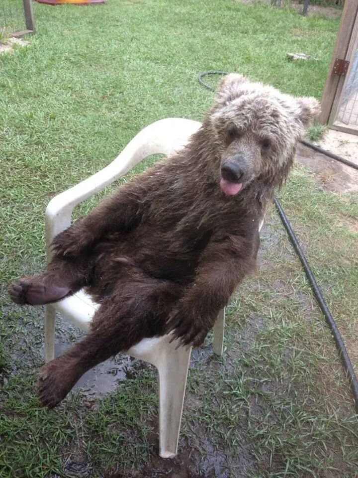 Bear Acting Like A Human Sitting in a Chair