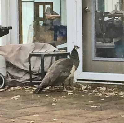 Bonnie Parent of Chetek found this female peacock—a peahen—in her yard Sunday morning It had escaped from the Funny Farm s petting zoo nearby