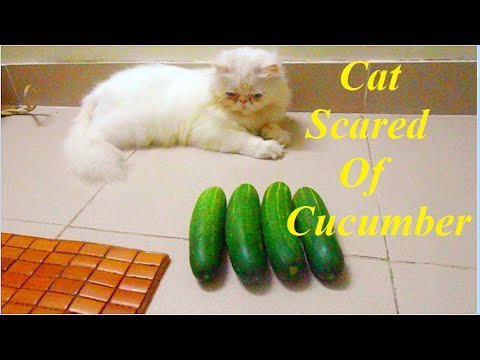 Cat Scared Cucumber Funny Cat Video 2015