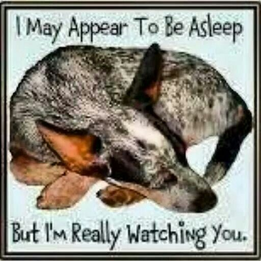 Yep e eye open one eye closed ACDs Herding DogsCrazy Dog Lady Australian