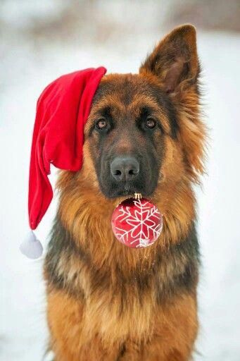 GSD Christmas germanshepherddogs Christmas Animals Dog Christmas Cards Merry Christmas Dog