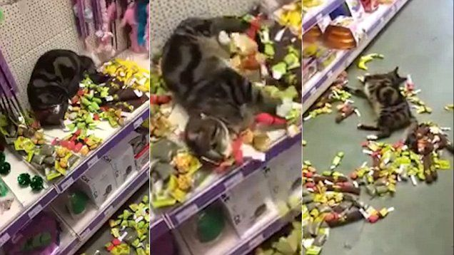 Video shows cat overdosing on catnip after breaking into a pet shop