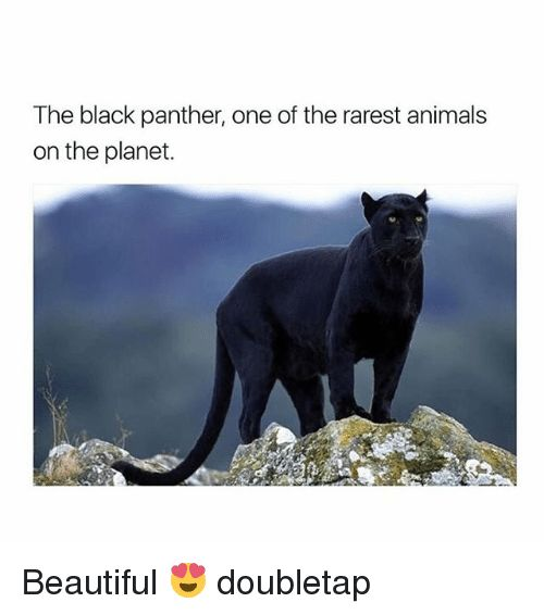 Animals Beautiful and Memes The black panther one of the rarest animals