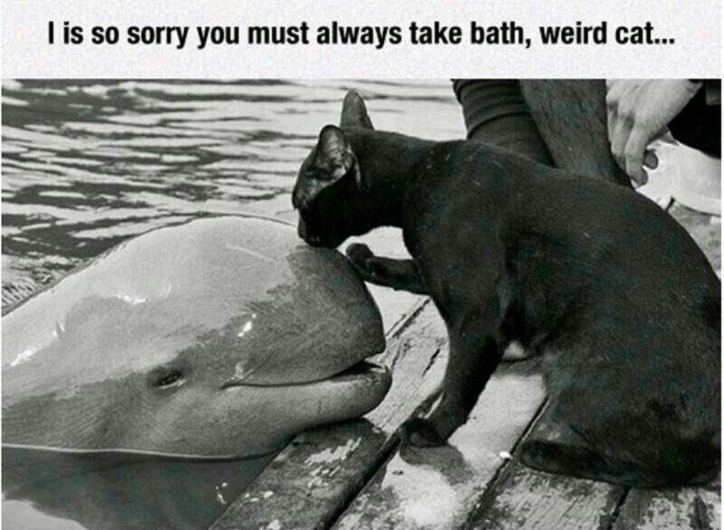 Weird cat meme