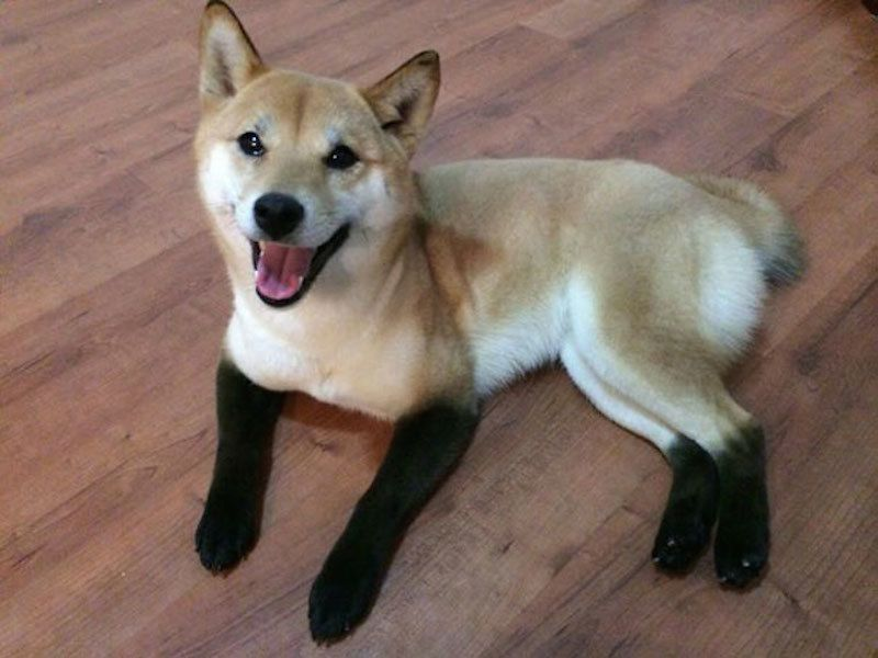 An attractive foxy colored shiba inu with forever black boots on Funny Dogs Unusual