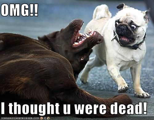 Pug s a shock What a nice surprise In this funny picture a pug s a shock from a big dog I think a little bit of poop came out for him