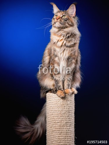 Portrait of funny Maine Coon cat sitting on scratching post for cats Studio photo of